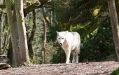 White Wolf Walking
