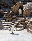 Penguins Waddling