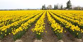 Yellow Daffodil Field