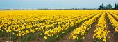 Yellow Daffodil Rows