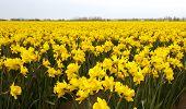 Yellow Daffodil Crop