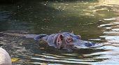 Hippopotamus Cooling In Water