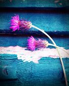 Photo of beautiful pink cornflowers on blue wooden background, stem of purple centaurea smeary in white paint, two violet knapweed flowers on blue grungy door, spring season, bloom time concept