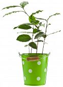 Tea Plant in the green bucket isolated on a white background