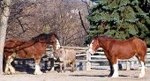 foto of clydesdale  - tow clydesdale horses and a donkey standing in a pen - JPG