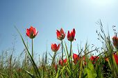 Red Tulips W/ Sky poster