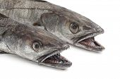 Two heads of Hake fishes on white background