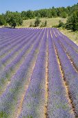 Provance Lavender Fields