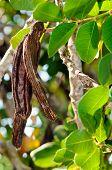 Carob Pods Of Carob Tree (Ceratonia siliqua)