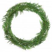 Cedar cypress leaf wreath over white background. Cupressus nootkatensis.