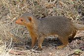 A Common Dwarf Mongoose