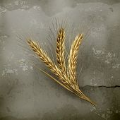 Ears of wheat, old style vector