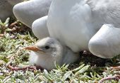 Sandwich Tern Chick