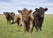 Organic beef herd