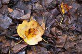 Rotten yellow autumn maple leaves in rain drops