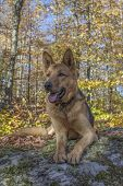 Beautiful alert German shepherd
