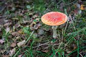 Colorful Fly Agaric Mushroom