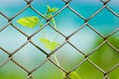 stock photo of chain link fence  - Chain link fence with fresh plant - JPG