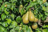 Common Pears At A Branch In Sunlight
