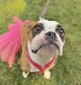 stock photo of spayed  - a cute boxer at a local park - JPG