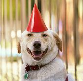 a labrador retriever with a party hat on