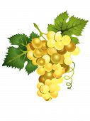 Vector Illustration Of Realistic  White  Grapes