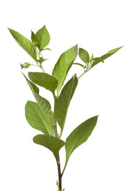 picture of belladonna  - Poisonous Belladonna plant on white background - JPG