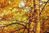 Yellow Birch Foliage