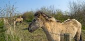 Konik horses in a sunny field in spring