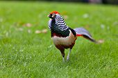 picture of pheasant  - Golden Pheasant  - JPG