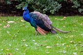 image of peahen  - Indian peacock bird outdoor on green grass