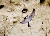 foto of mink  - Swifts build jack in mink on coast of the rivers - JPG