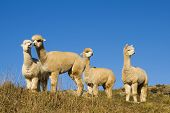Herd of Lamas in The Wilderness, New Zealand
