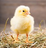 little chicken is in a nest