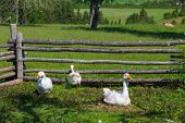 Farm geese within a fenced in barnyard enclosure.
