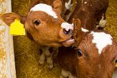 image of calves  - Newborn calf lying on the clean straw in the paddock - JPG