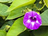 stock photo of ipomoea  - Ipomoea pes - JPG