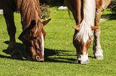 stock photo of horses eating  - wild horses eating in an italian landscape - JPG