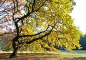 Oak Tree In Dusk Light