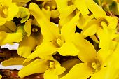 flowers of spring yellow forsythia close up