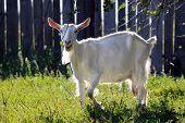 beautiful white milch goat walks