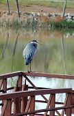Blue Heron At Shadow Lake
