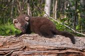 Young Fisher (martes Pennanti) On Log Looks Right
