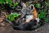 Grey Fox Vixen (urocyon Cinereoargenteus) Feeds Kits At Den