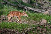 White-tailed Deer Fawn (odocoileus Virginianus) Runs Right
