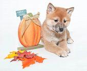Autumn Shiba Inu Puppy