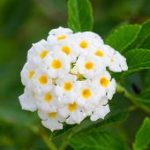 stock photo of lantana  - White lantana camara flowers blooming on tree - JPG