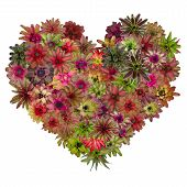 picture of bromeliad  - colorful bromeliad heart isolated on white background - JPG