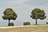 Pine Trees Growing In Spain In The Open. Field Crops.