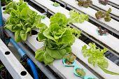 Organic Hydroponic Vegetable Garden In Thailand Merket